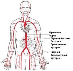 УЗДГ Висцеральных ветвей брюшной аорты